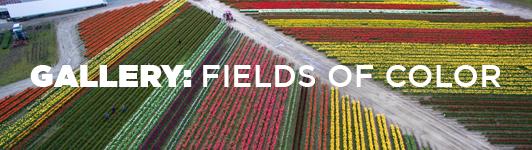 Ag: Tulip fields gallery