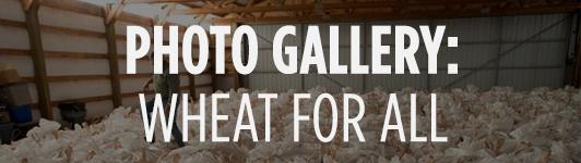 Wheat gallery