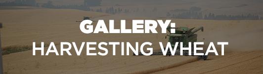 wheat update gallery