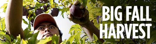 Apple harvest sidebar