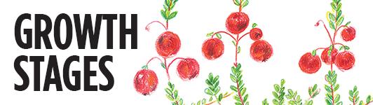 Cranberry graphics