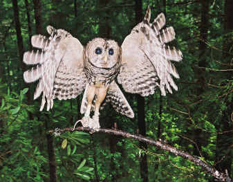 Barred owl inroad, hybrids complicate spotted owl review