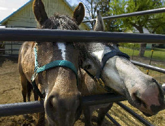 Blm tracks horse and home the spokesman review james springs adopted wild horses major left and thumper greet visitors through their barnyard m4hsunfo
