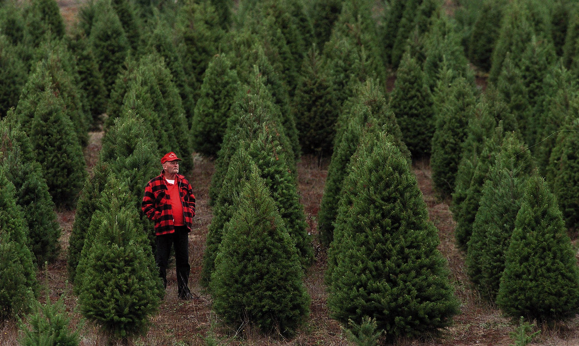 Oregon Christmas Trees.Christmas Tree Farmers Say Mexico Acting Like Scrooge The