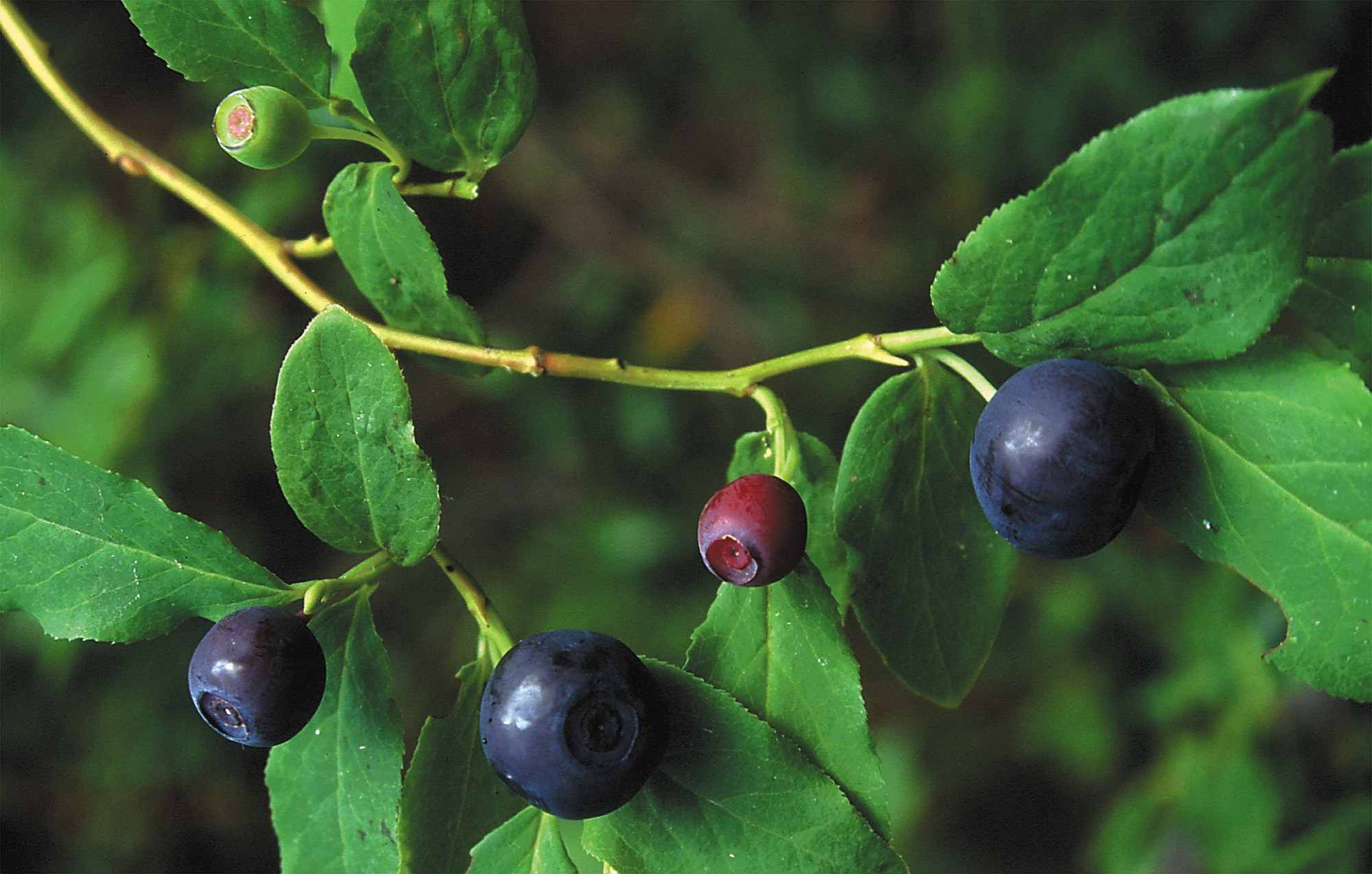 Huckleberry Plant