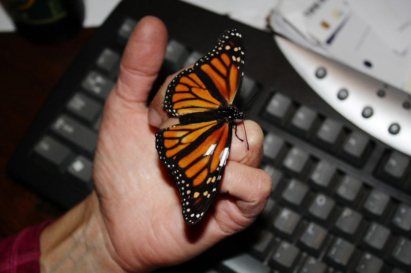 Jeannette Brandt And Mike Parwana Rescued This Monarch Erfly From A Local Roadside In Rural Hadley