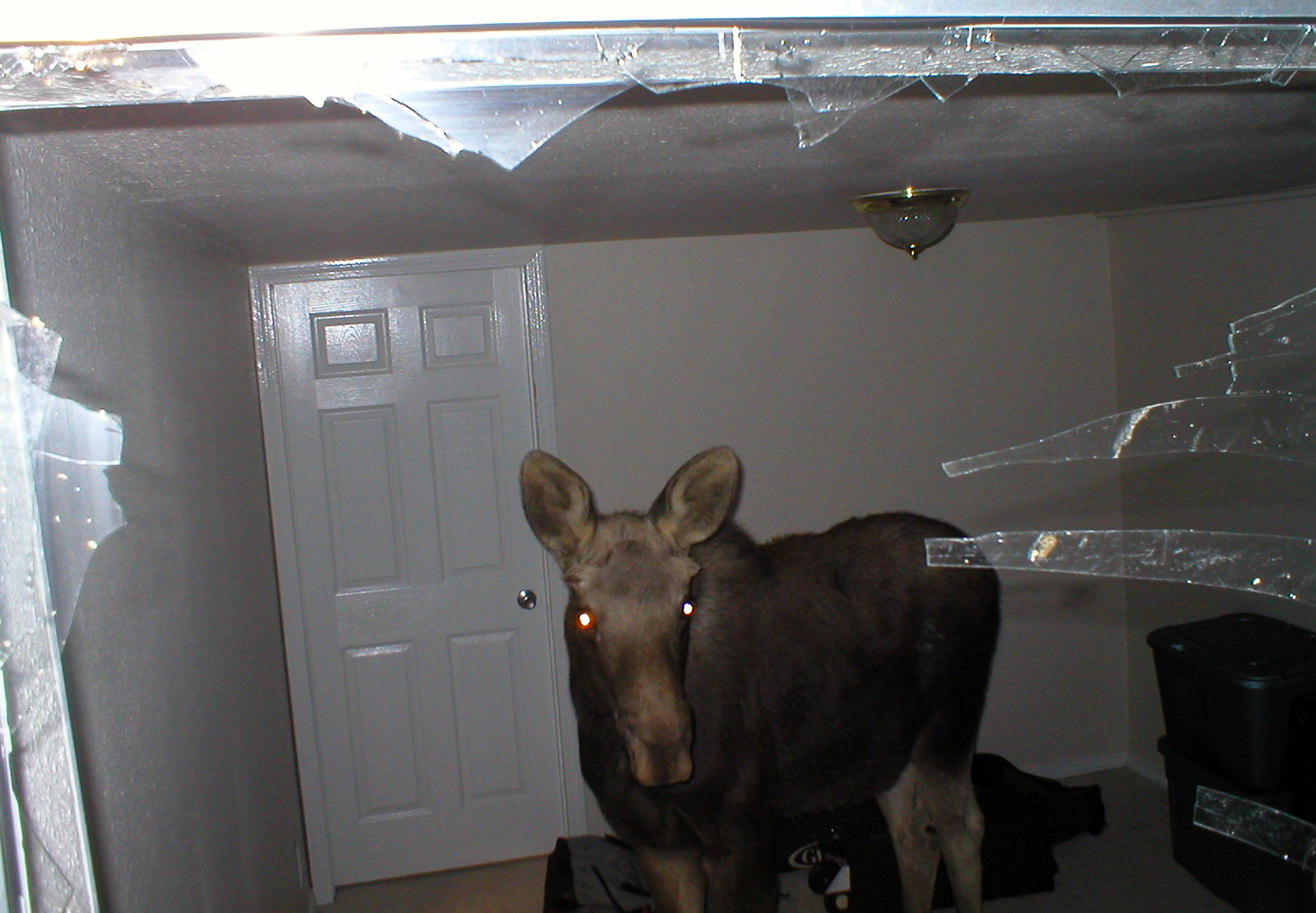 A 375 Pound Moose Calf That Crashed Through A Window Into The Basement  Bedroom Of
