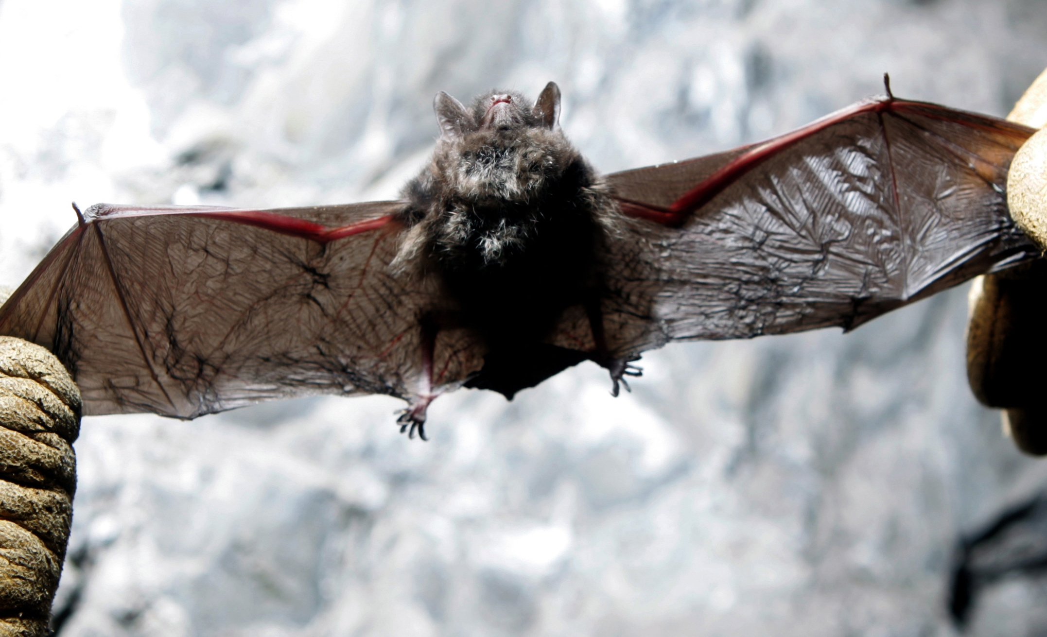 Bat With White Nose Syndrome Found In Washington The