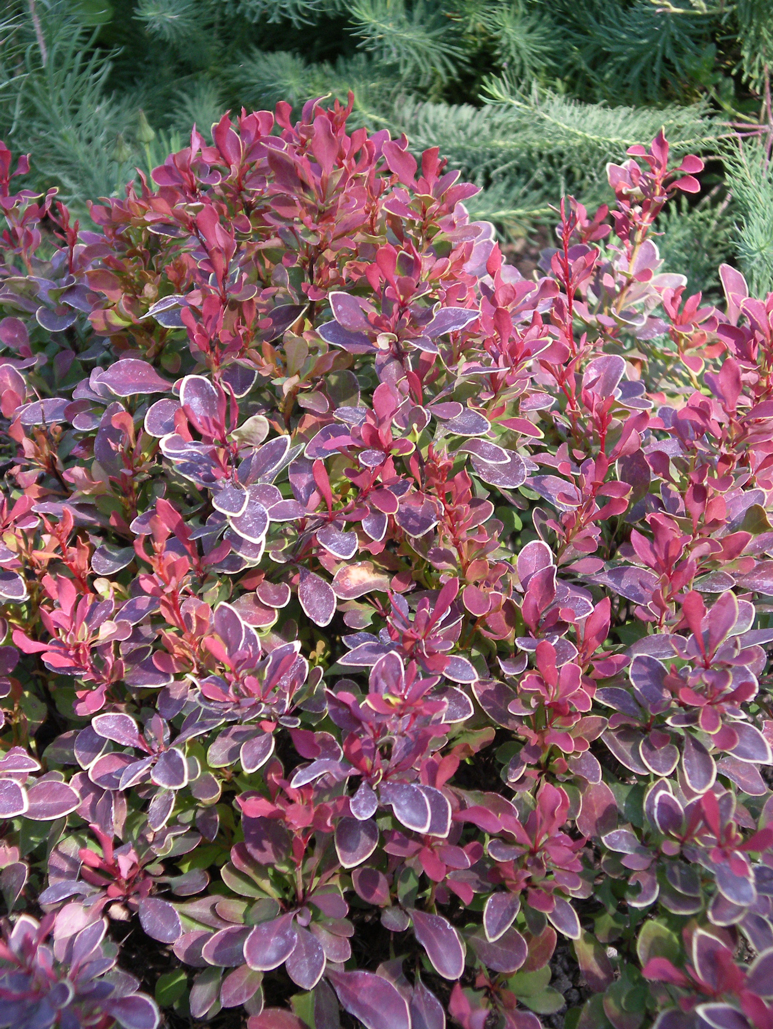 New Barberry Varieties Add Colorful Easy Accent Options