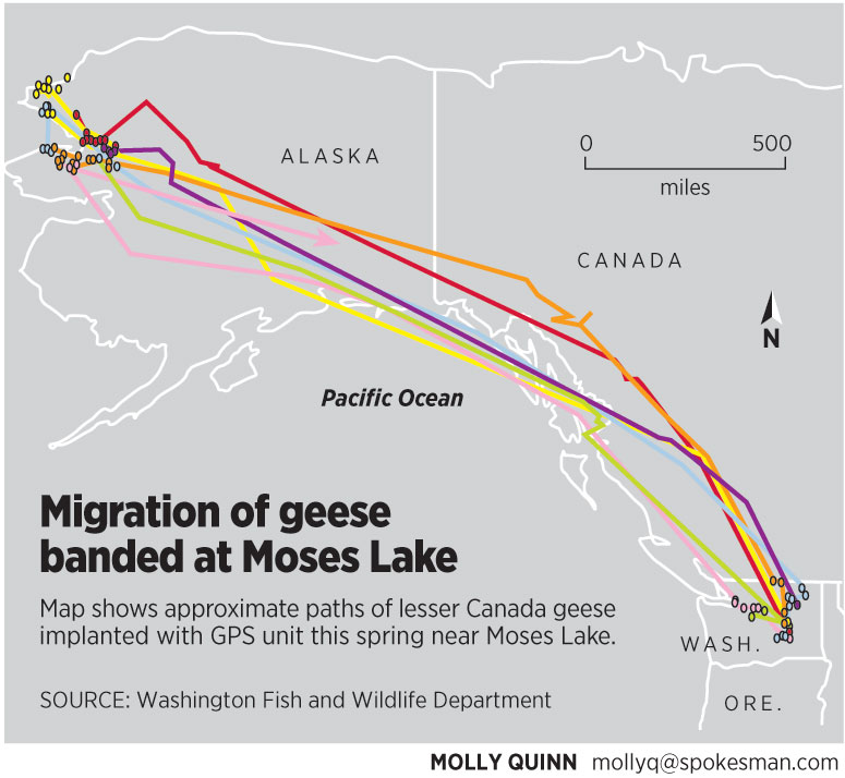 GPS tracks migrating geese | The Spokesman-Review on whooping crane migration map, red wing blackbird migration map, wild turkey migration map, green sea turtle migration map, prairie chicken migration map, deer migration map, blue-winged teal migration map, bald eagle migration map, barn swallows migration map, bass migration map, american robin migration map, canadian goose, woodpecker migration map, snow goose migration map, mallard migration map, owl migration map, ducks migration map, shark migration map, barnacle goose migration map, purple martins migration map,