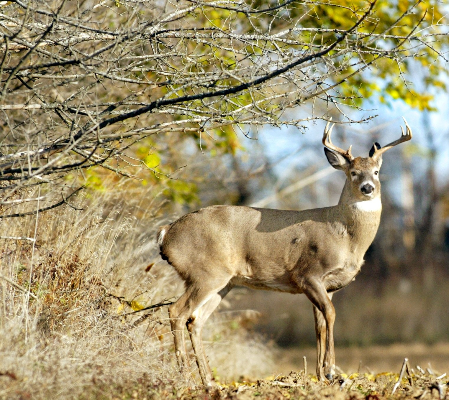 the rut leads whitetails to abandon wary ways the spokesman review