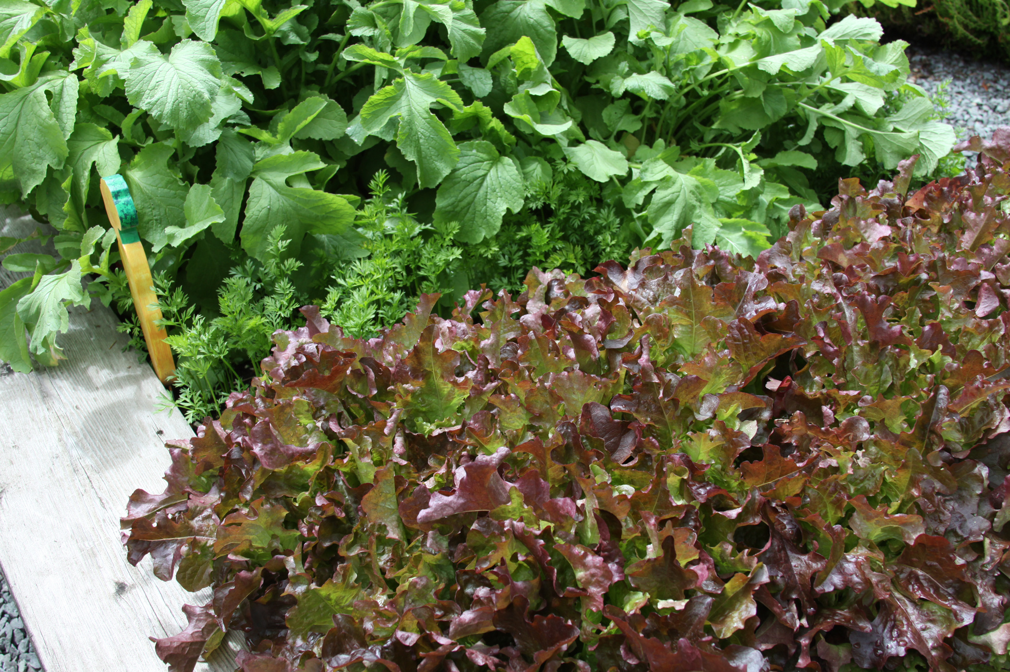 Time is now to plant lettuce, other root crops | The Spokesman-Review