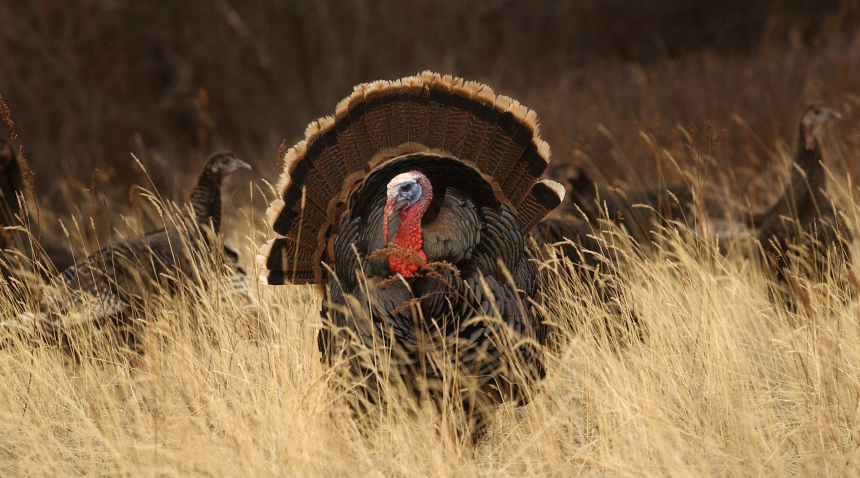 hunters need repertoire for calling turkeys the spokesman review