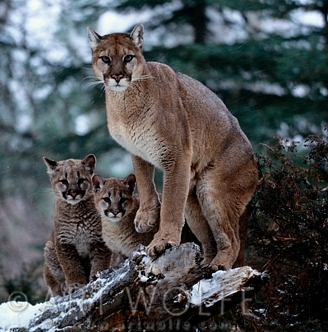 Deer hunters reminded that cougars are fair game, too | The