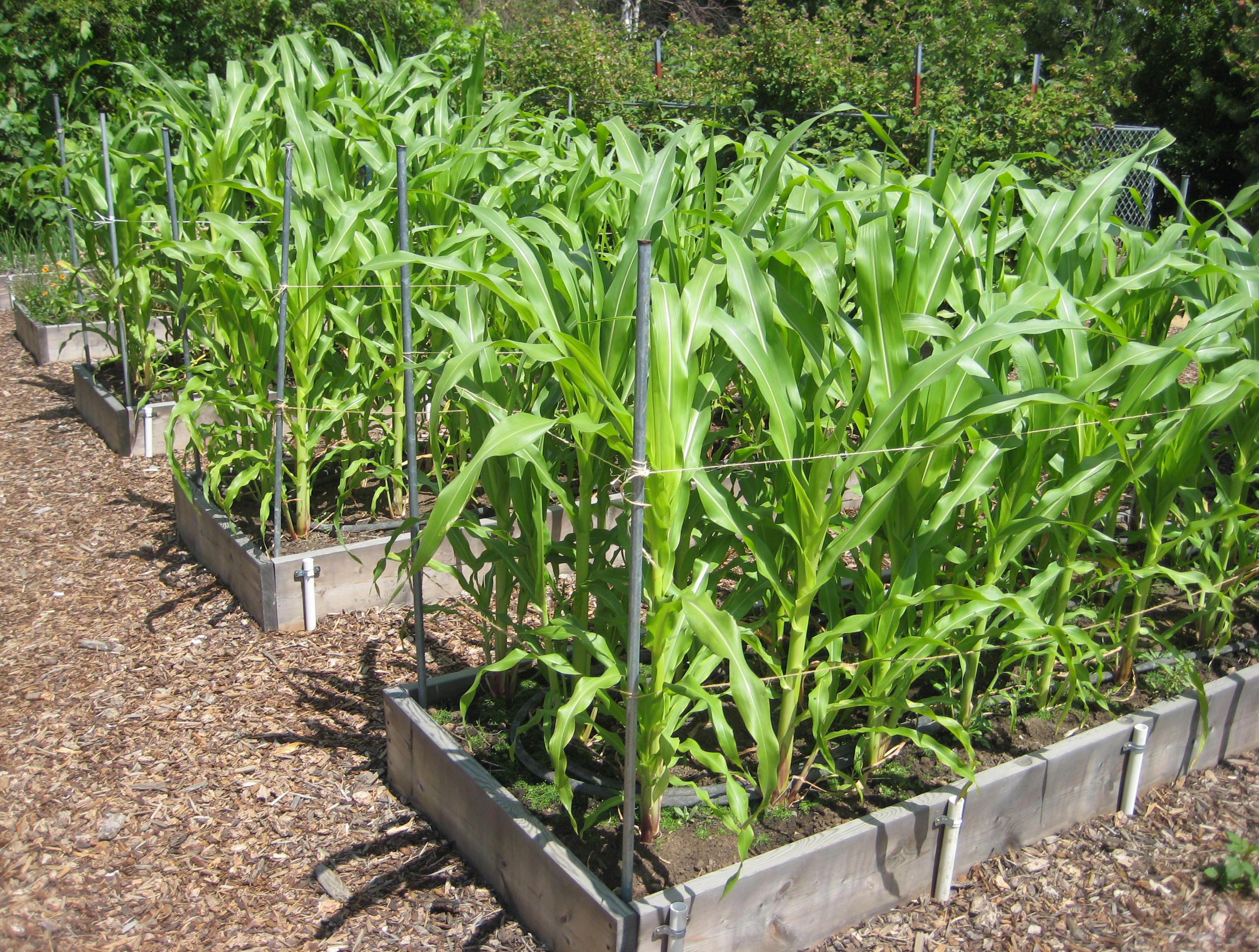 beans, corn: warm-season crops kick off | the spokesman-review