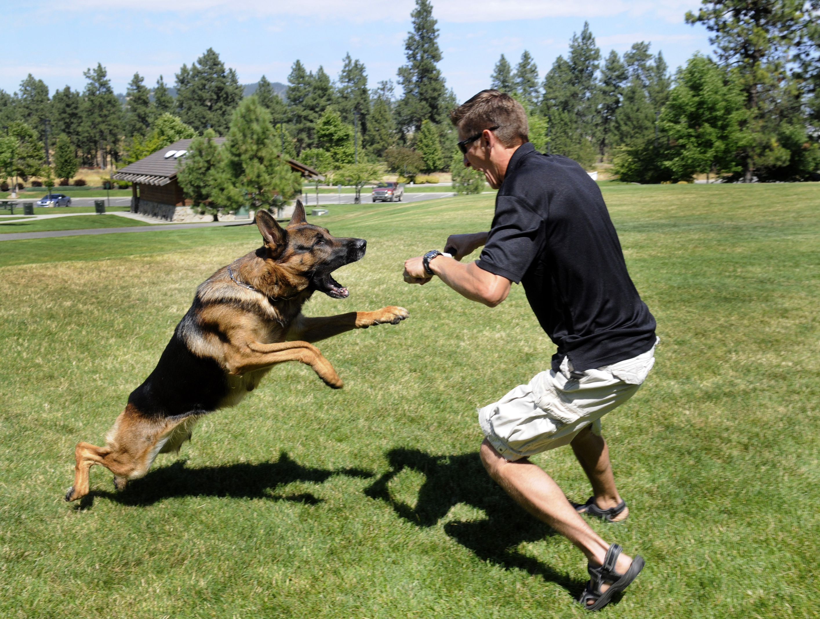 german shepherd protection training german shepherds fulfill trainers business vision the 9988