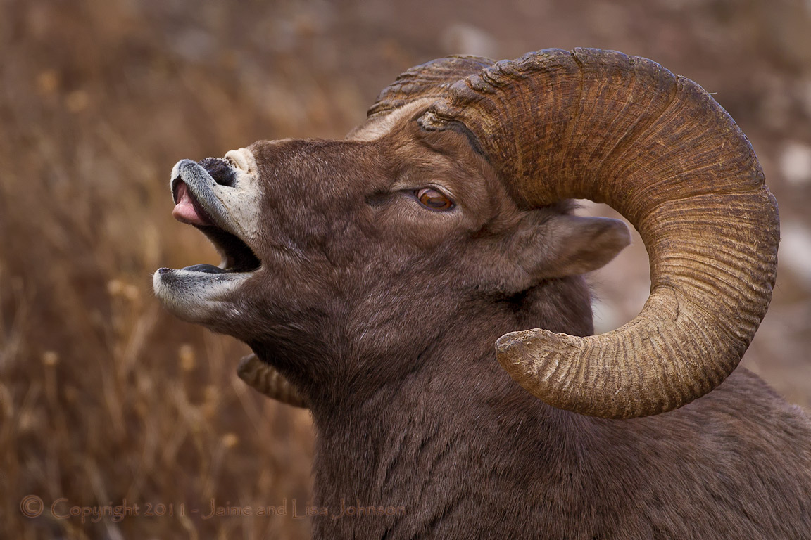 Washington bighorn sheep herds trapped to help others ...