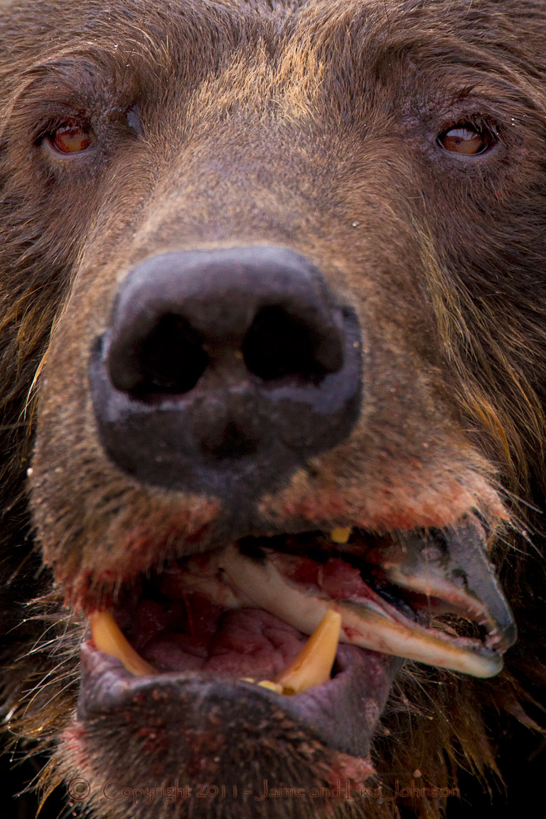 Grizzly Cub Lets Mom Worry About Dinner The Spokesman Review