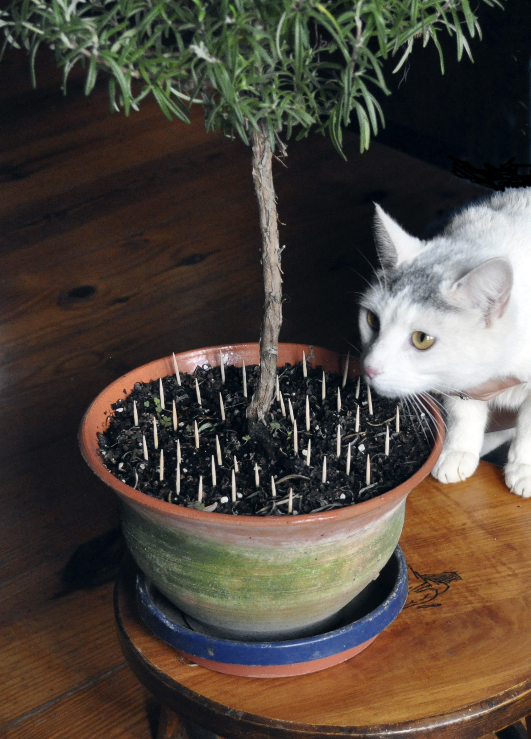 Toothpicks Placed In The Potting Soil Can Help Keep Cats Away From The Soil  In Potted