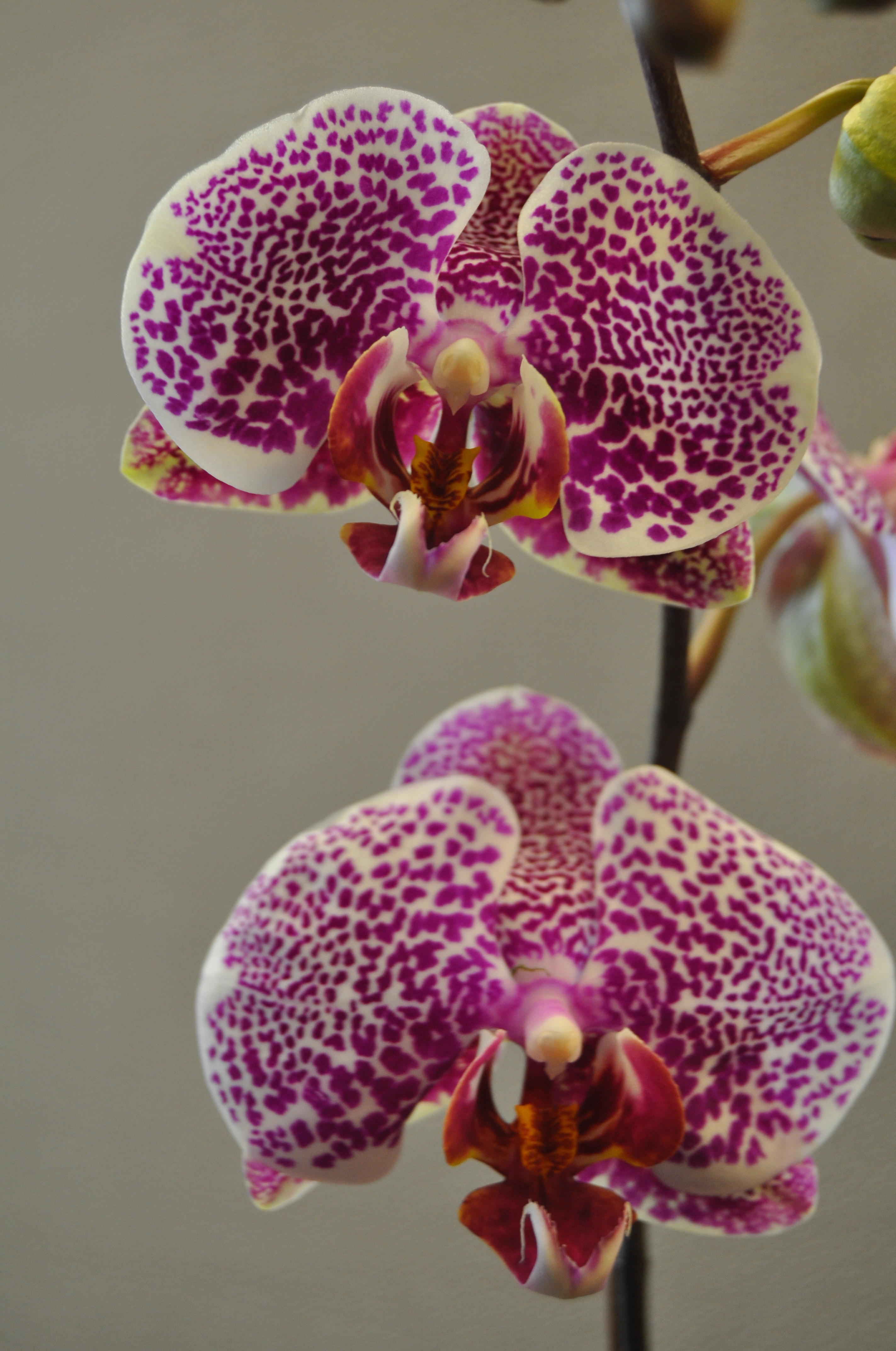 Exotic Orchids Can Grow Nicely Even In Spokane The Spokesman Review