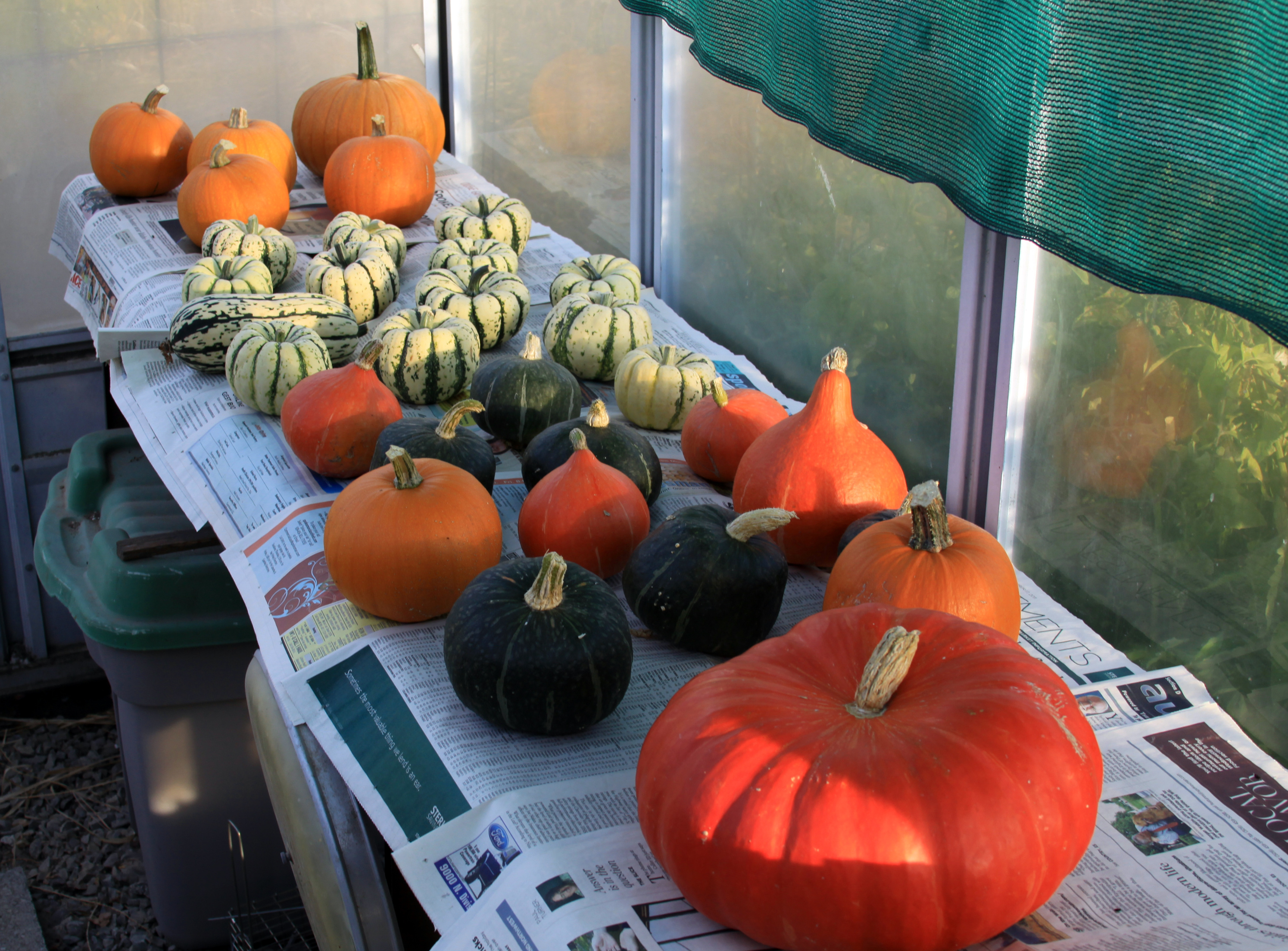 Last Yearu0027s Winter Squash And Pumpkins Were Cured In A Sunny Greenhouse  Before Going Into Storage