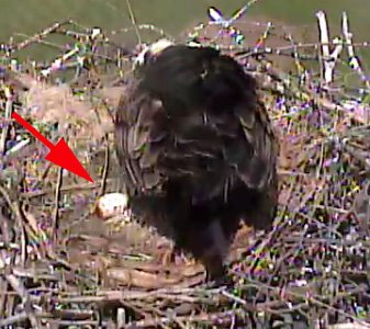 ... a web cam is giving viewers an up-close and personal view as the adults ...