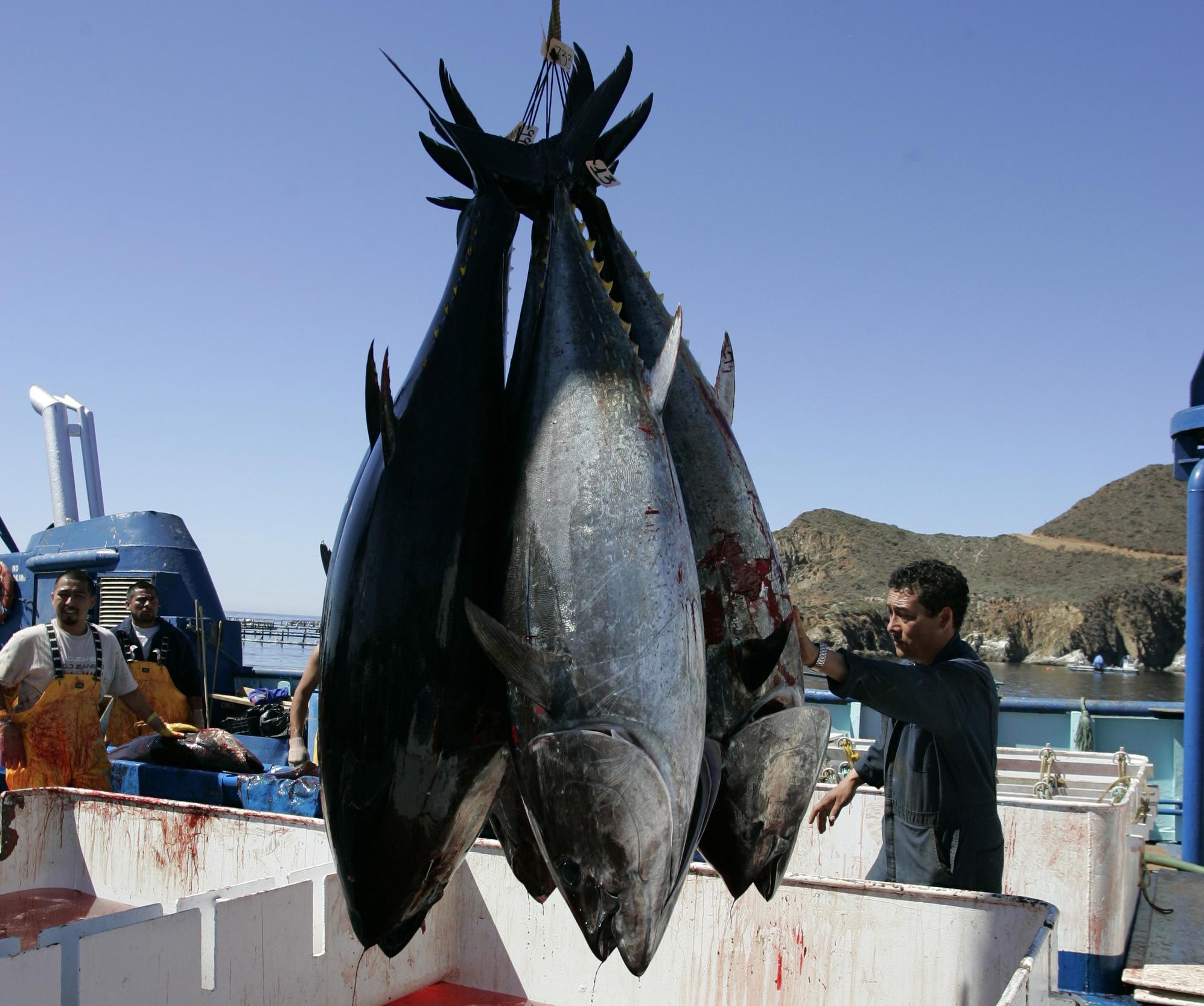 Giant radioactive fish cross the pacific ocean the for Pacific ocean radiation fish