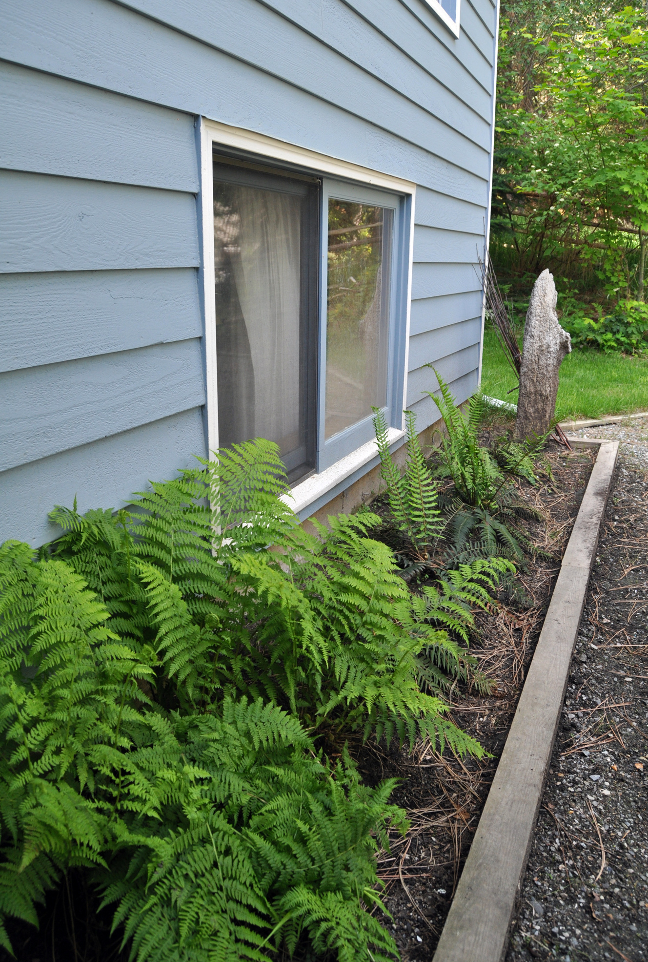 Ferns Are Perfect In Narrow Beds. Here, New Fronds Unfurl From Some Sword  Fern