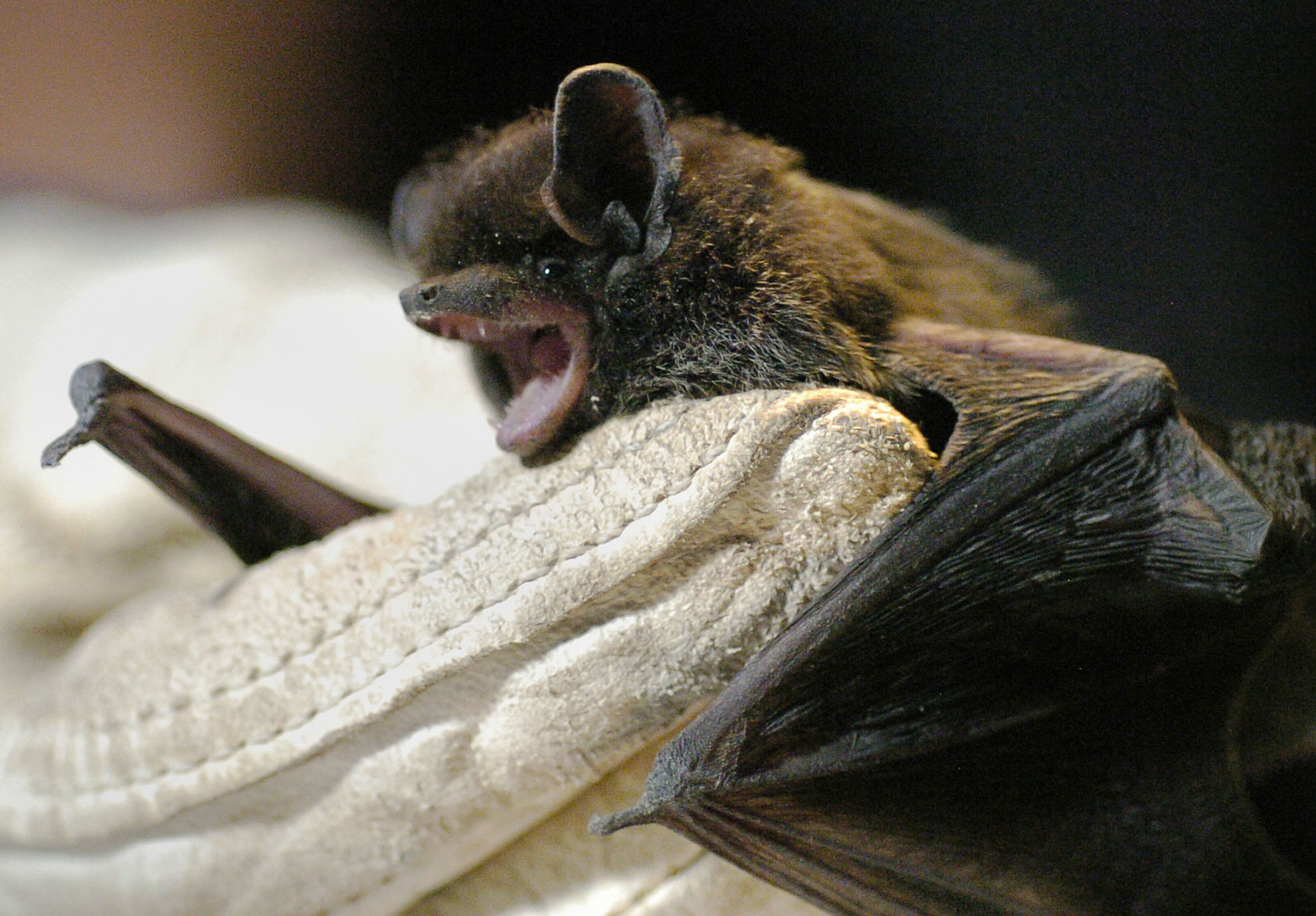 bat on stump bites angler along st joe river the
