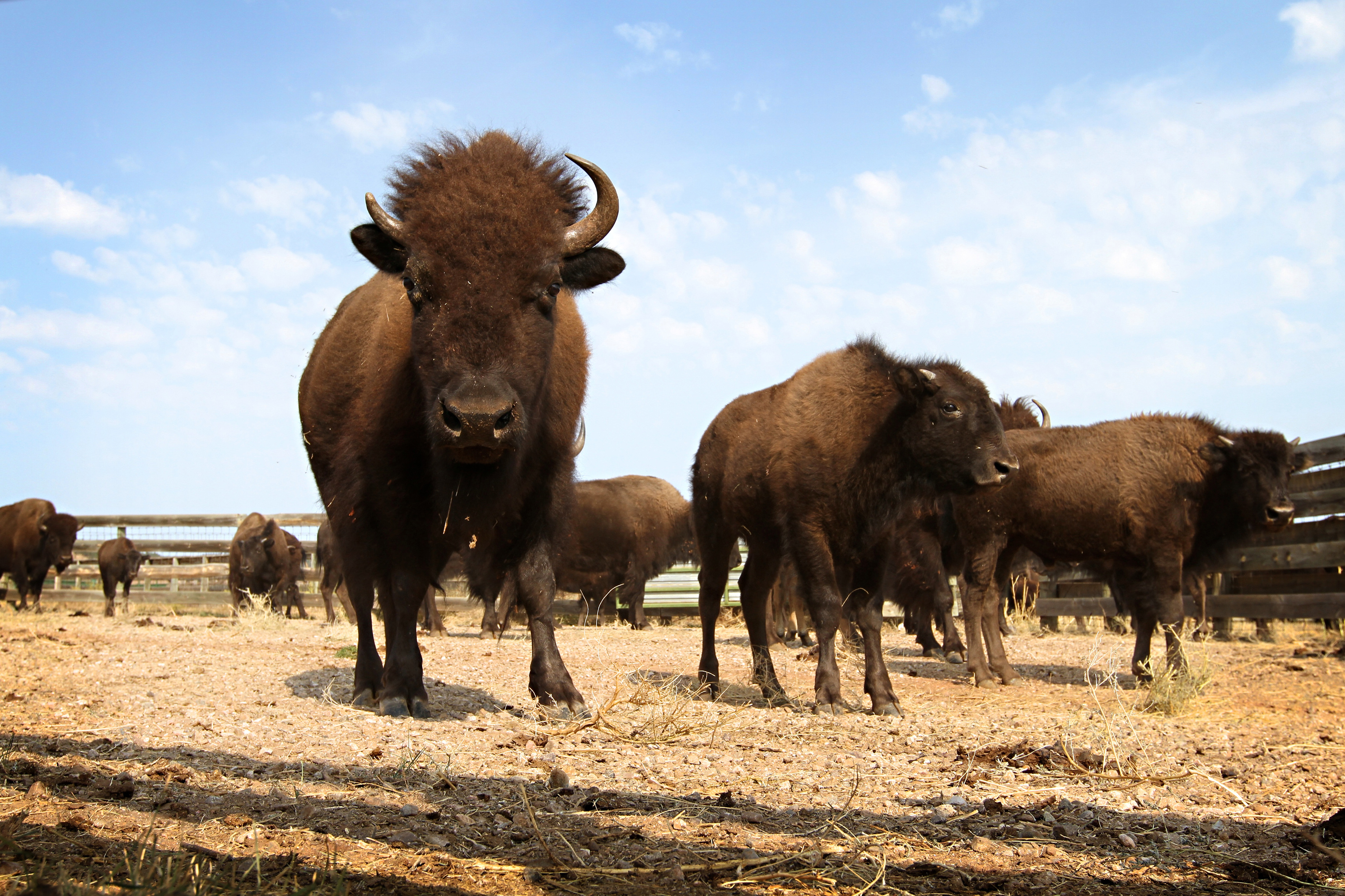 Image result for herd of buffalo
