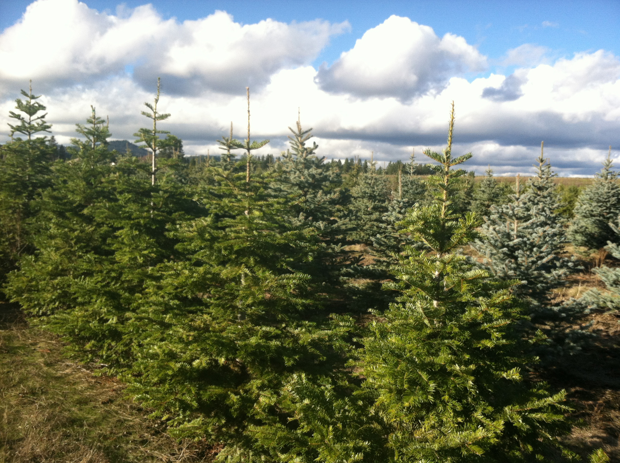 Newman Christmas Trees.As Trees Go Nothing Beats Real Thing The Spokesman Review