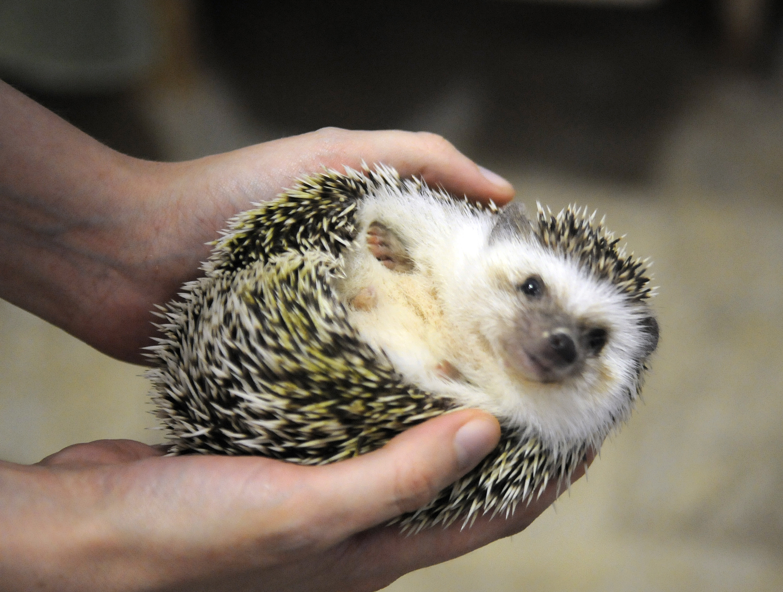 Pet Hedgehogs Linked to Salmonella Outbreak in Eight States