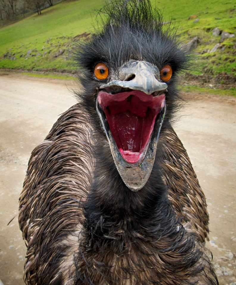 an emu on the attack the spokesman review