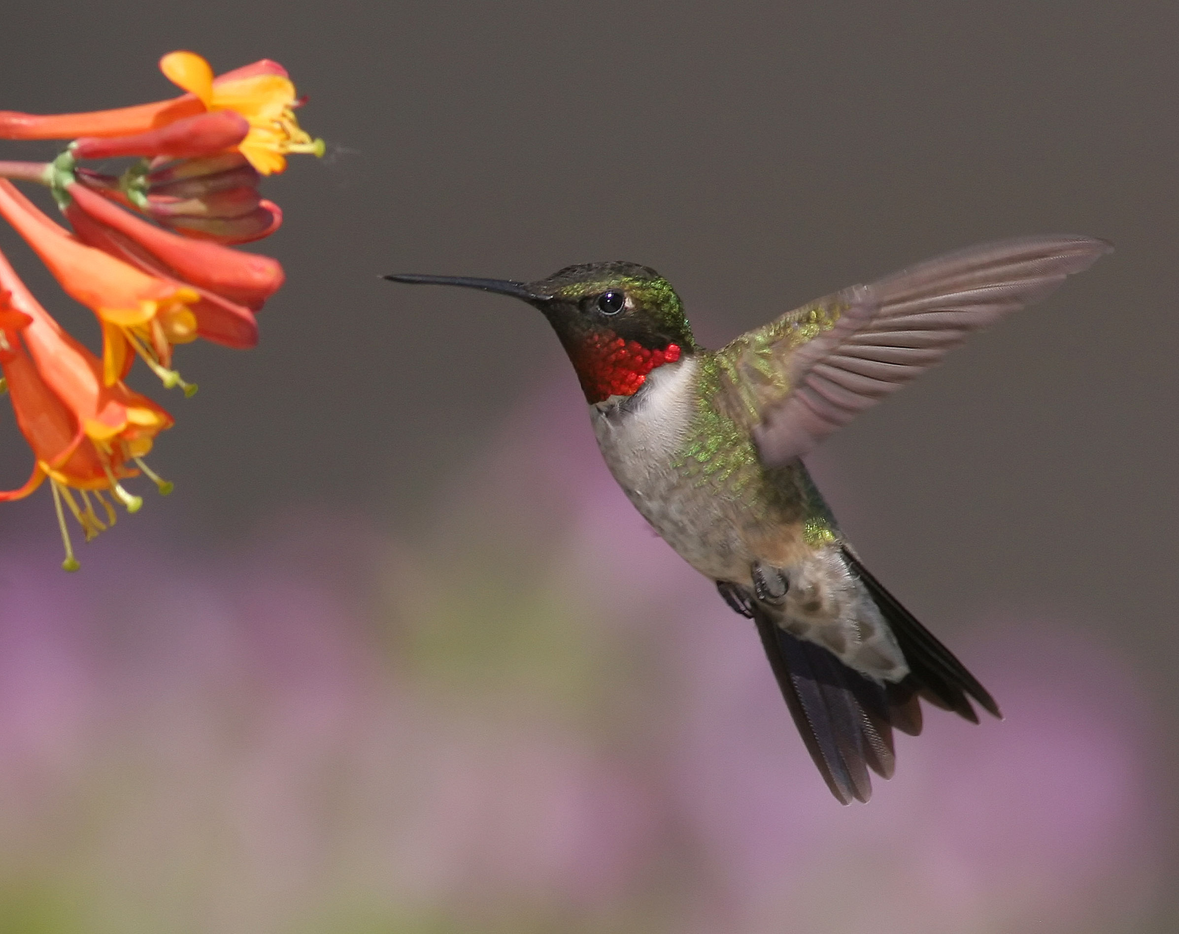 Un estudio encuentra que los colibríes migran antes | El Portavoz-Revisión