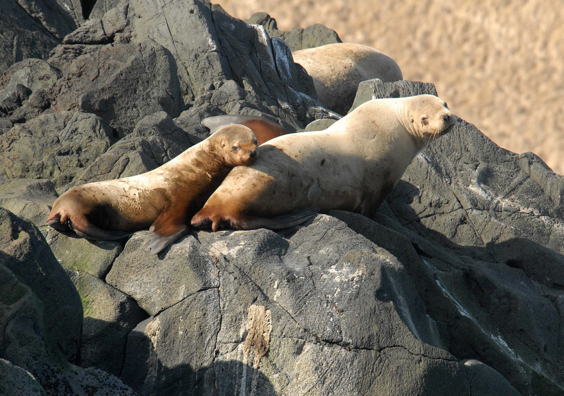U S  to reconsider sea lion protection | The Spokesman-Review
