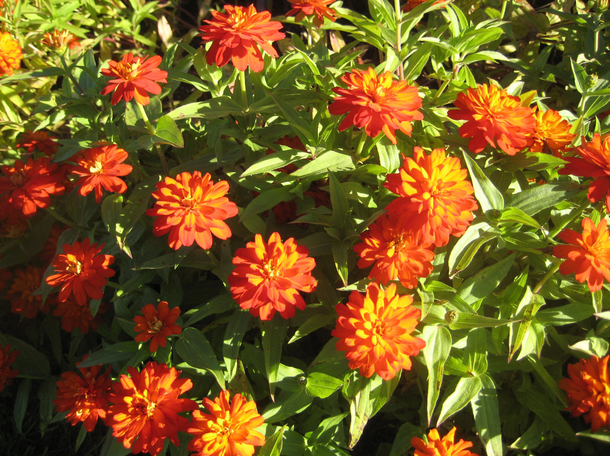 In the garden bright and easy zinnias are annual favorite the the zahara series of zinnias including double fire shown here have a mounding growth izmirmasajfo