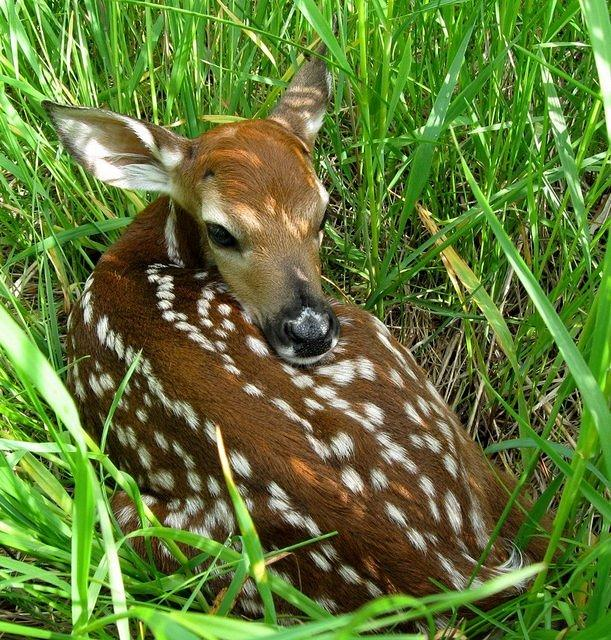 a White Tailed Deer Fawn Can
