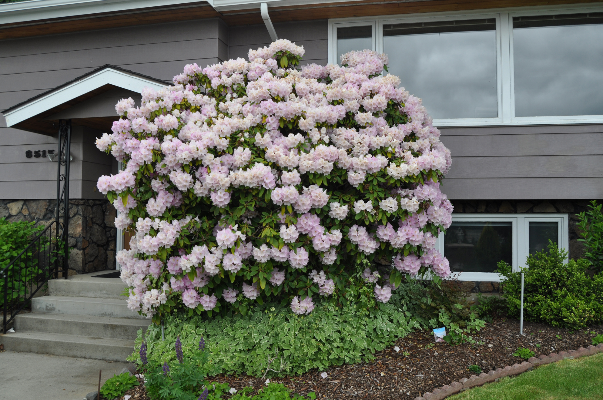 Rhododendrons Tricky Choose Zone Over Color The Spokesman Review