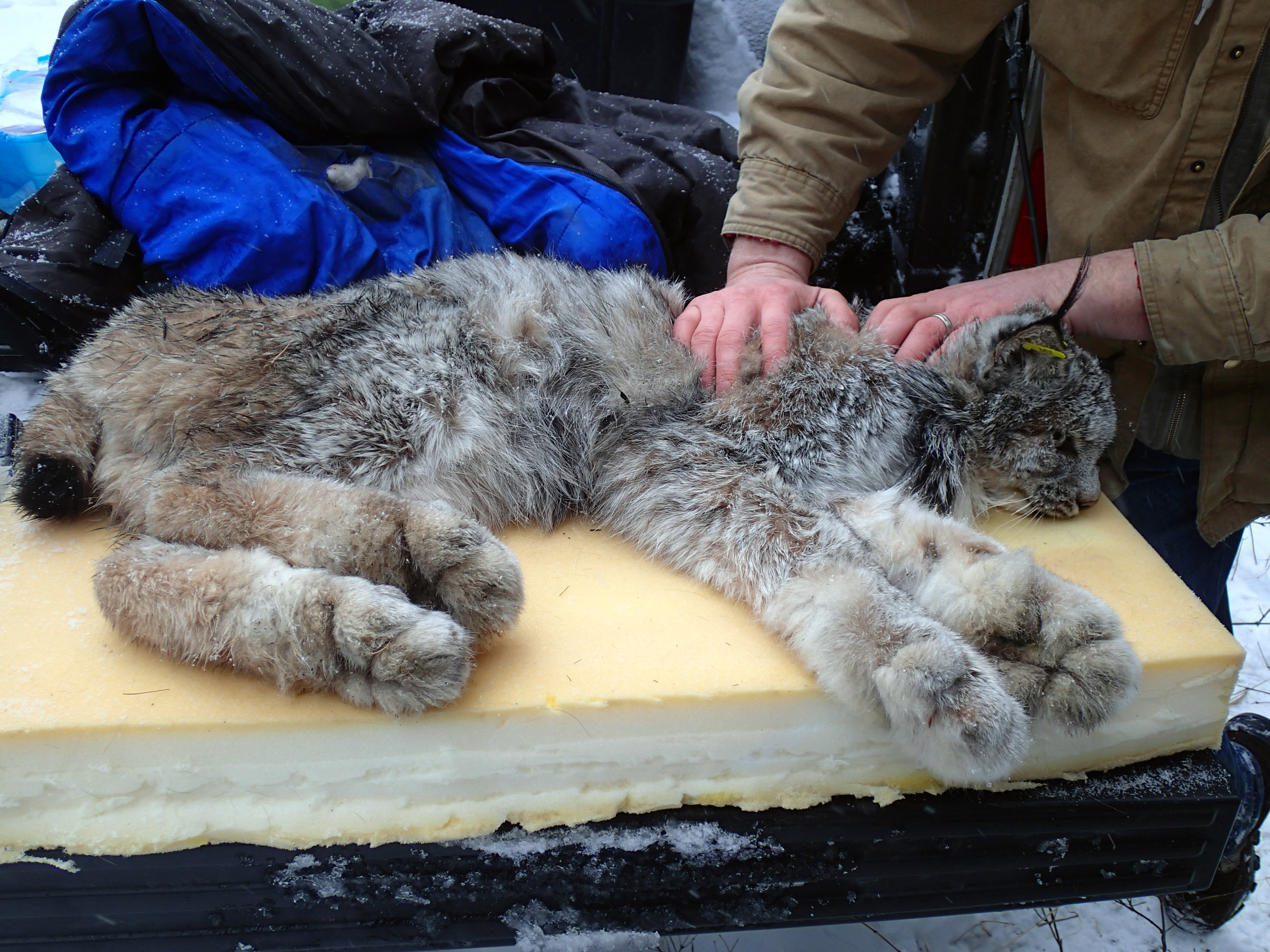 Idaho on notice over trapping of rare lynx the spokesman for Idaho fish and game phone number