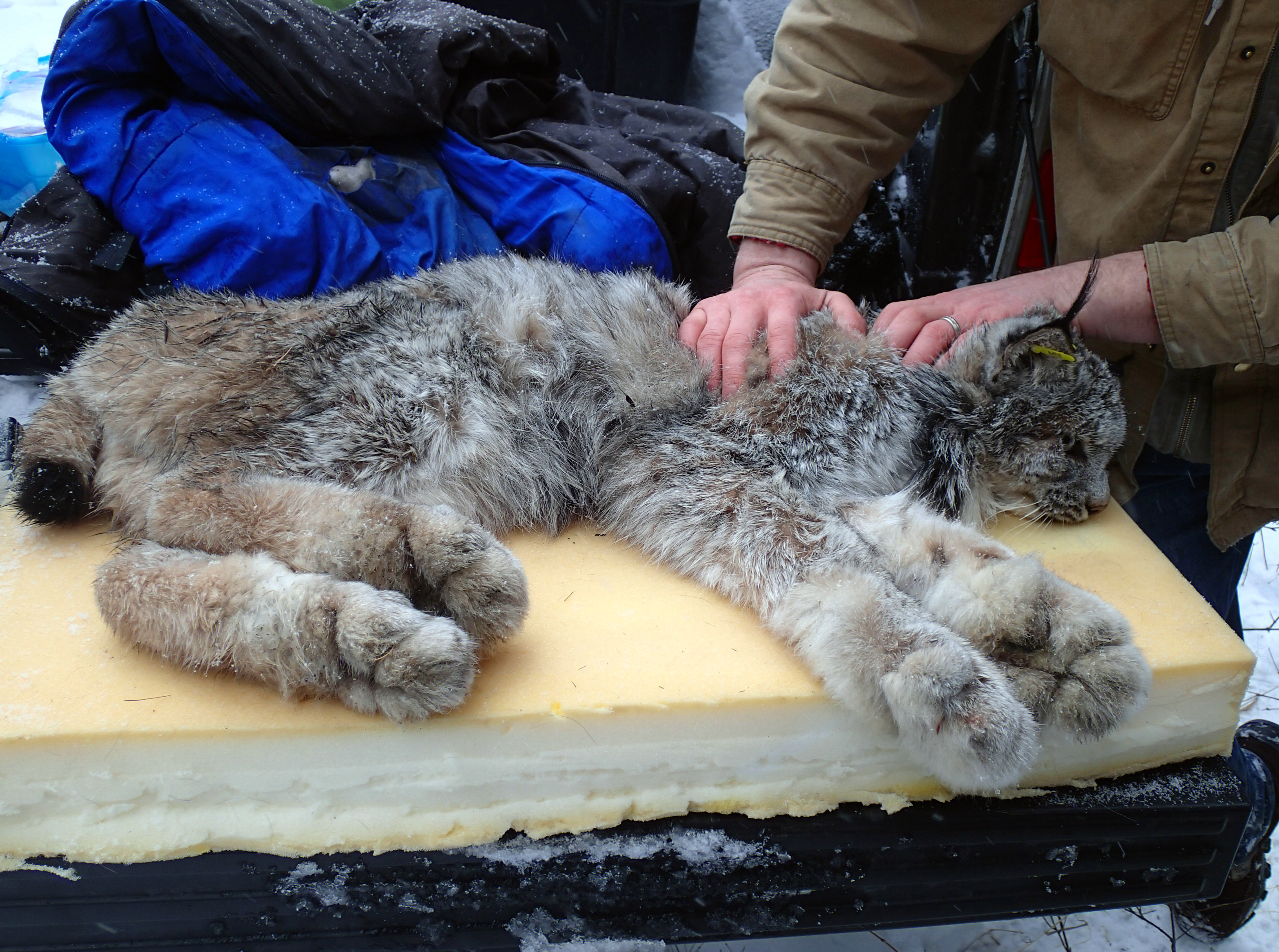 Nice Idaho Fish And Game Officials Examine A Canada Lynx Captured In The  Panhandleu0027s West Cabinet Mountains