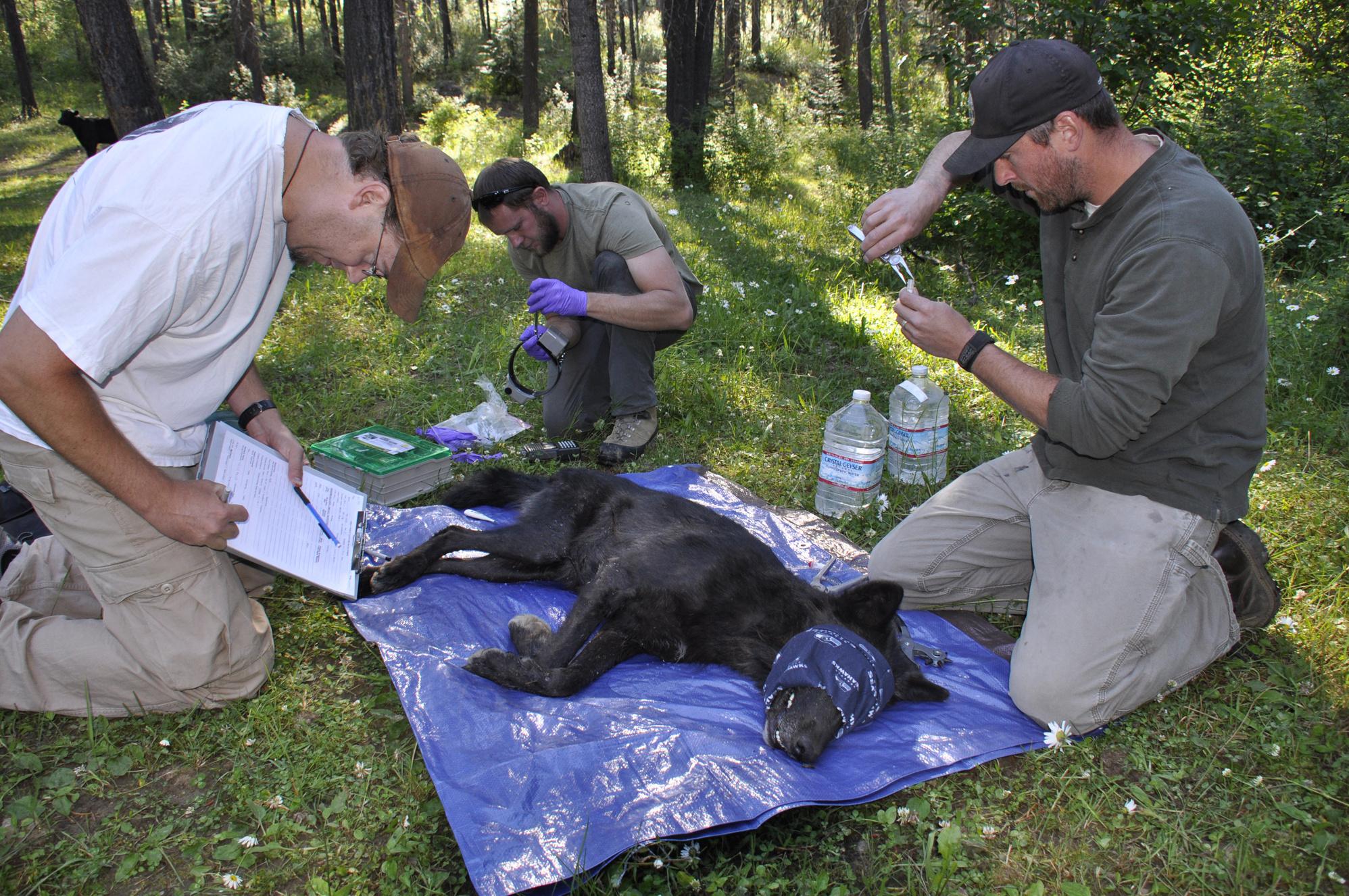 wolf 47 works full time for washington wildlife researchers the spokesman review - Wildlife Biologist Job Description