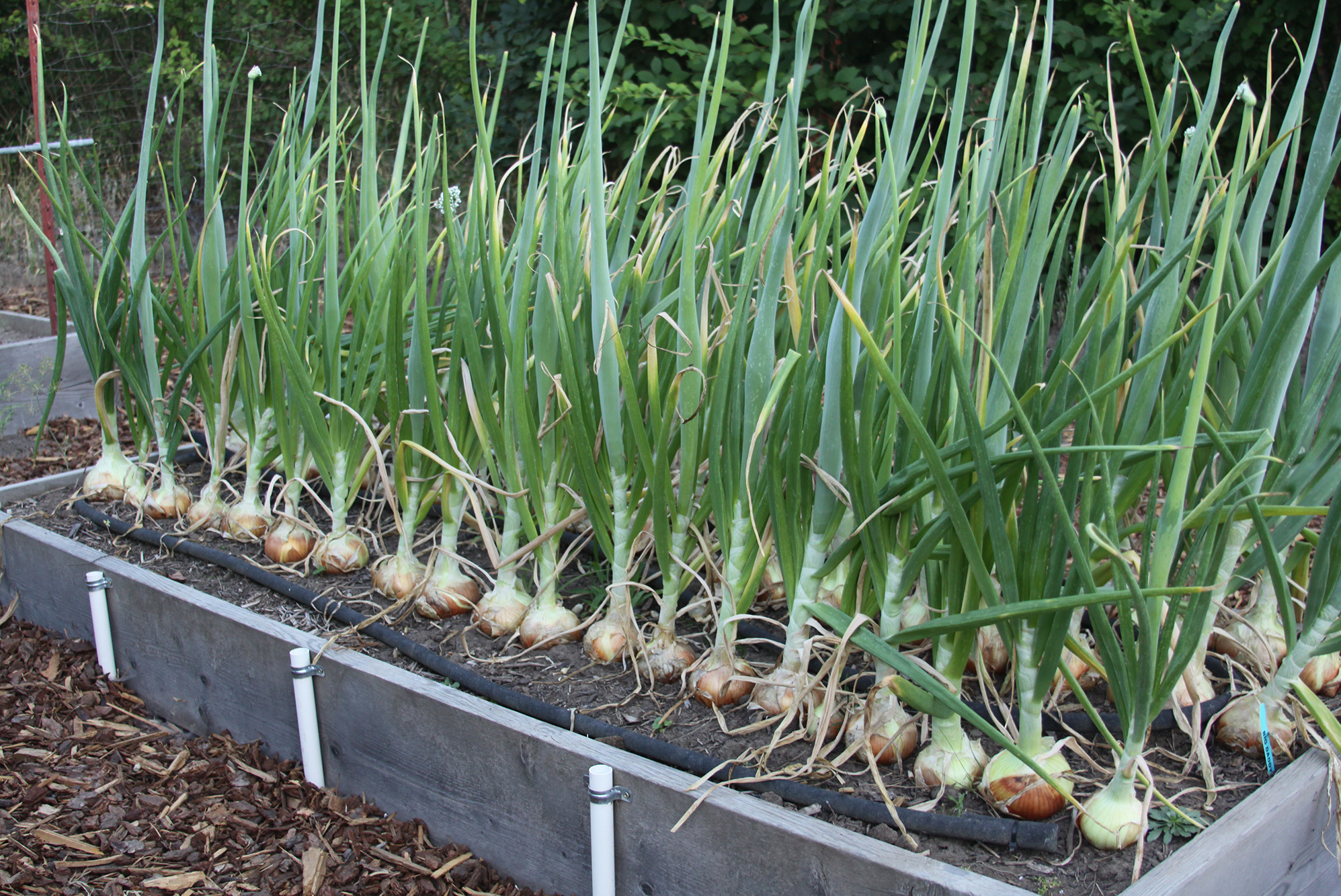 """Picture of 2 (TWO) Live Onions WallaWalla Vegetables Plant Fit 4"""" Pot"""