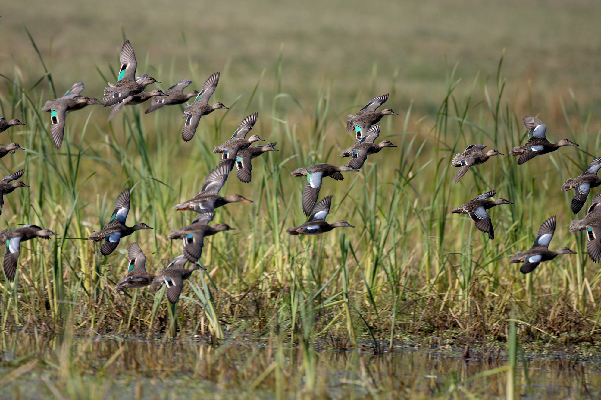 Birds of a feather: Will the real cinnamon teal please ...  Flock