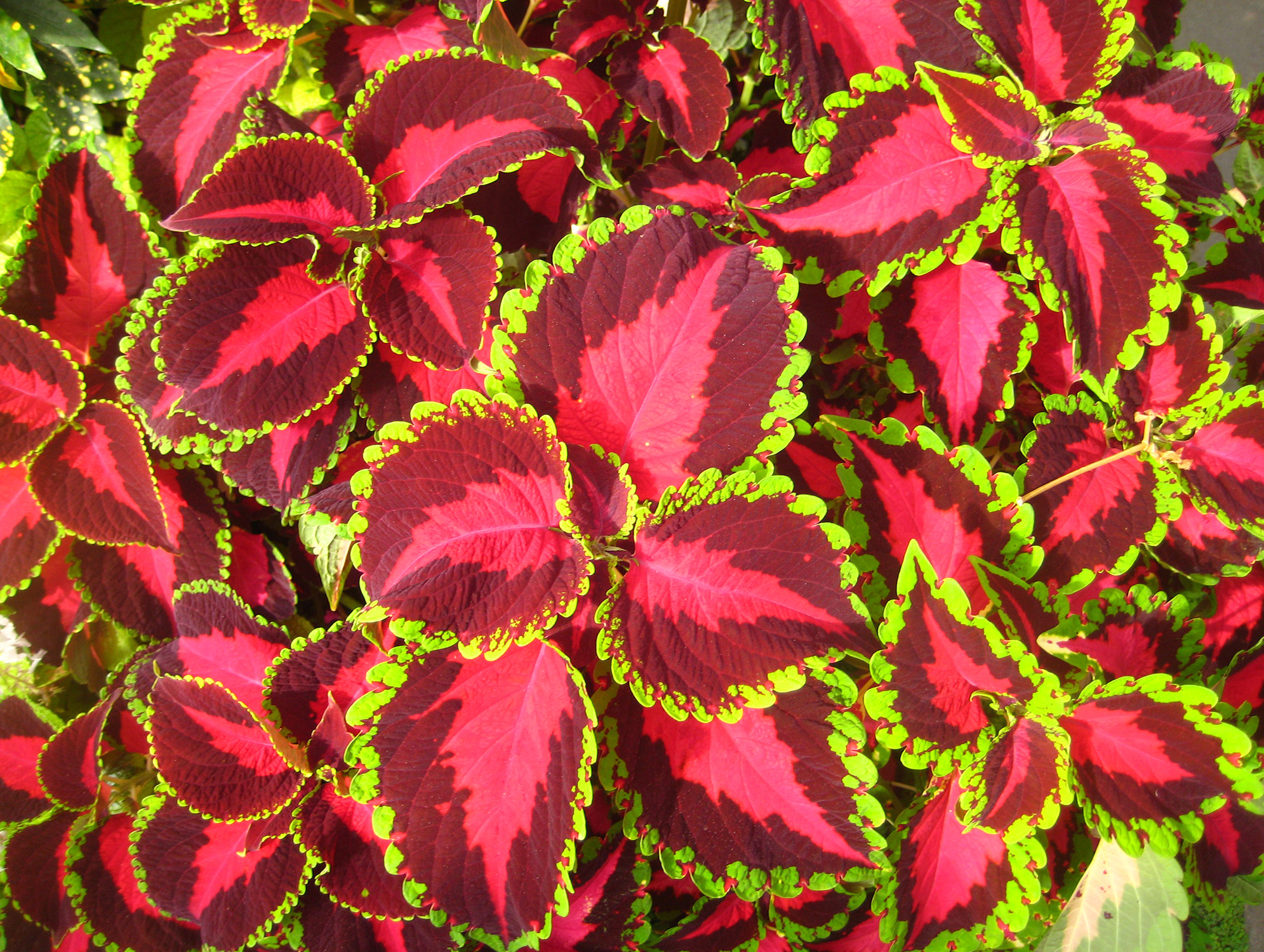 Coleus Plants With Their Wildly Colored Leaves Are Well Suited As Fillers For