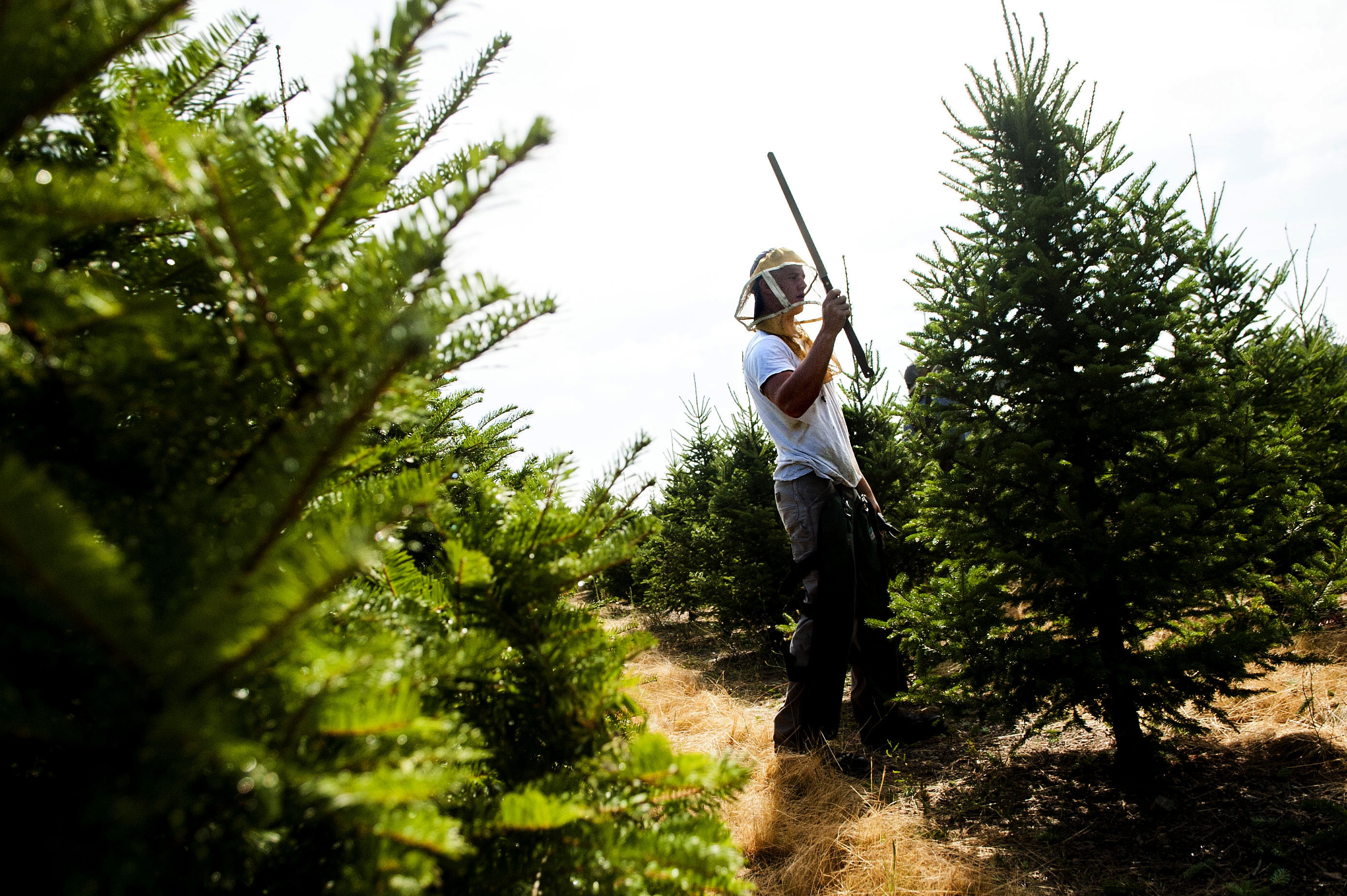 Newman Christmas Trees.Unusual Jobs Carver Farms Christmas Tree Trimmers The