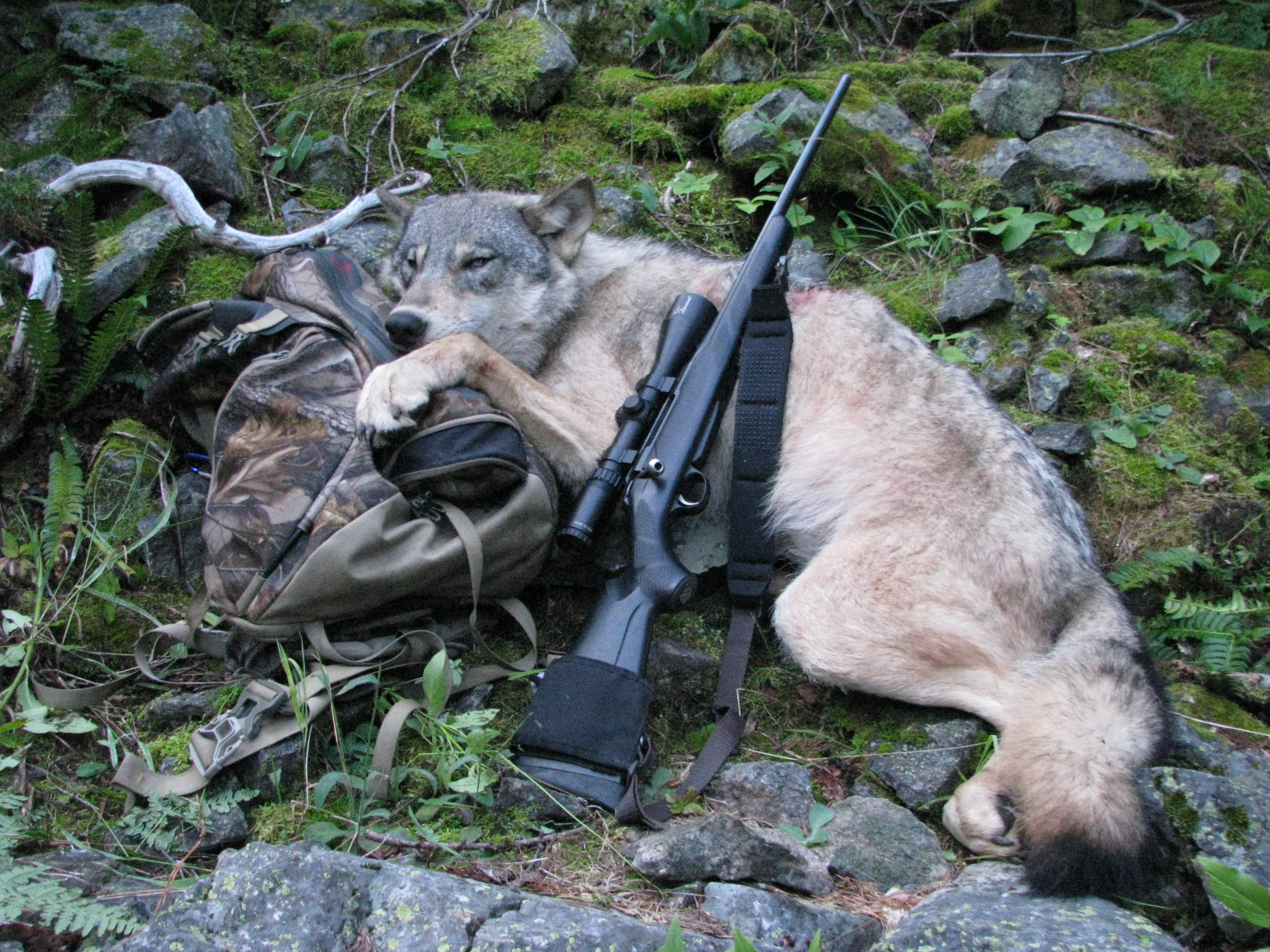 Hunters, trappers play role in managing Idaho wolves | The ...
