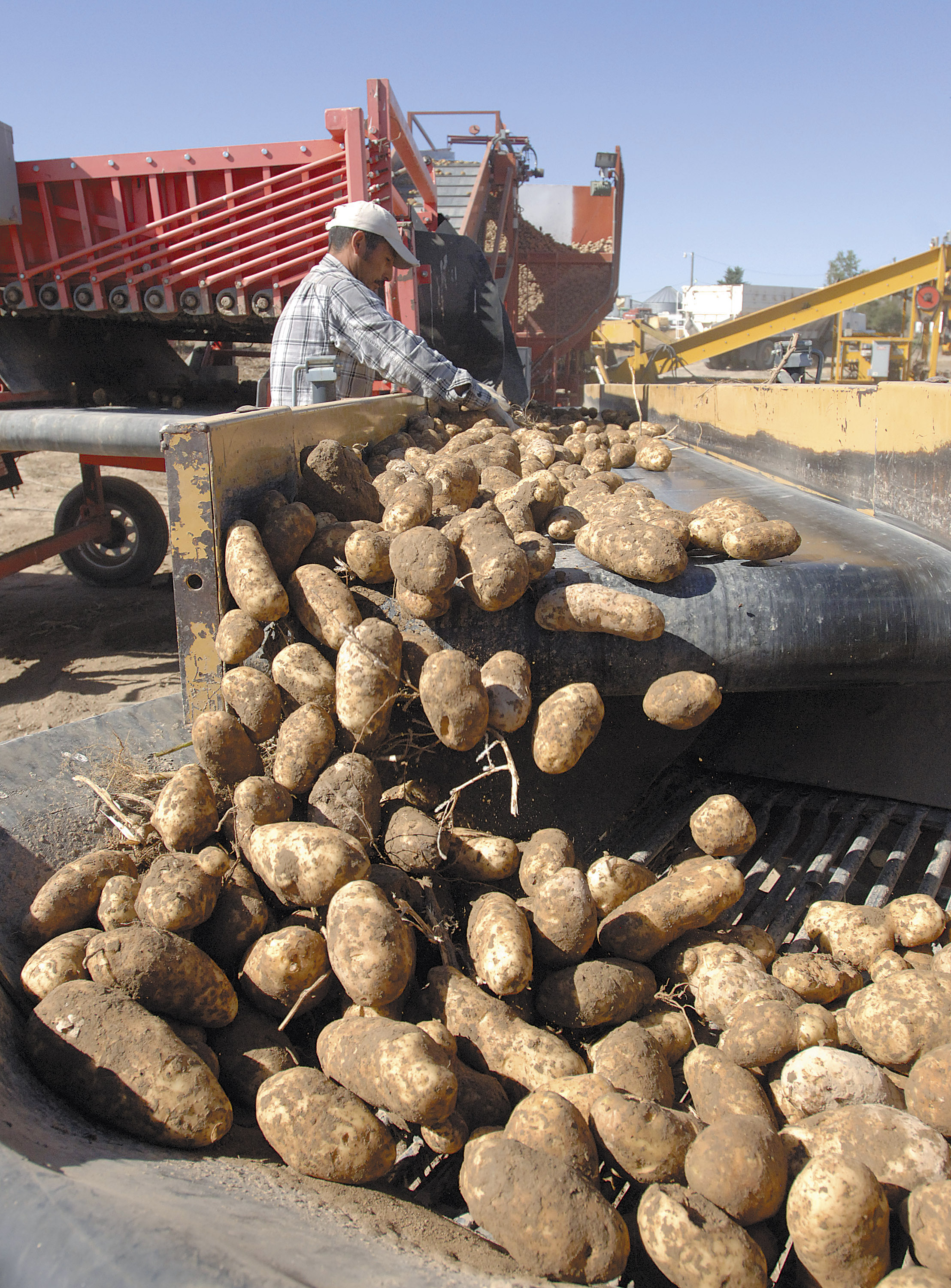 Organic potatoes are harvested at Holm Farms, west of Idaho Falls, in 2010.