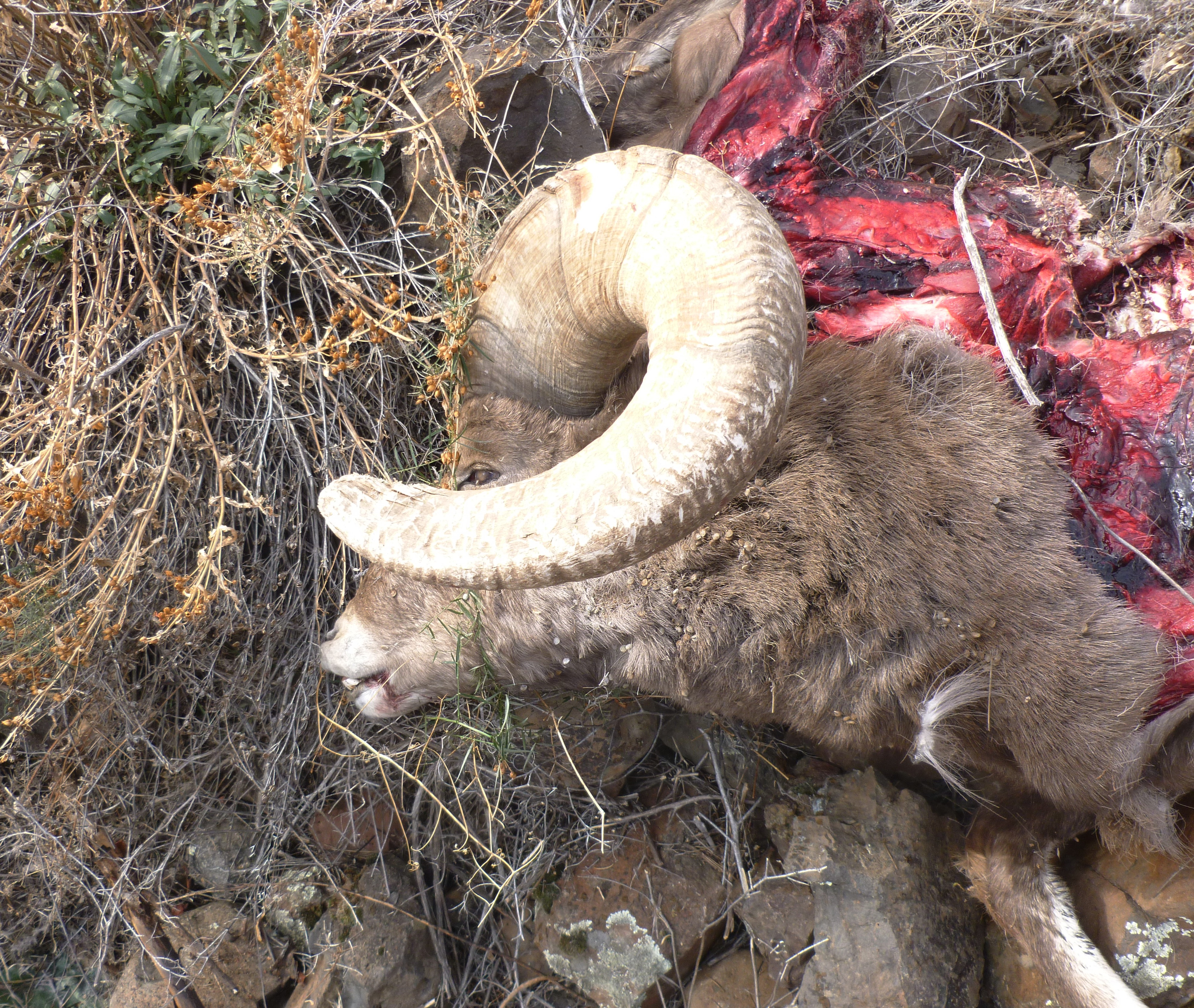Dog Eat Rams Horn