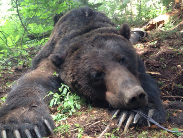 High Quality A 430 Pound Male Grizzly Bear Was Trapped And Collared For Research North  Of Nordman