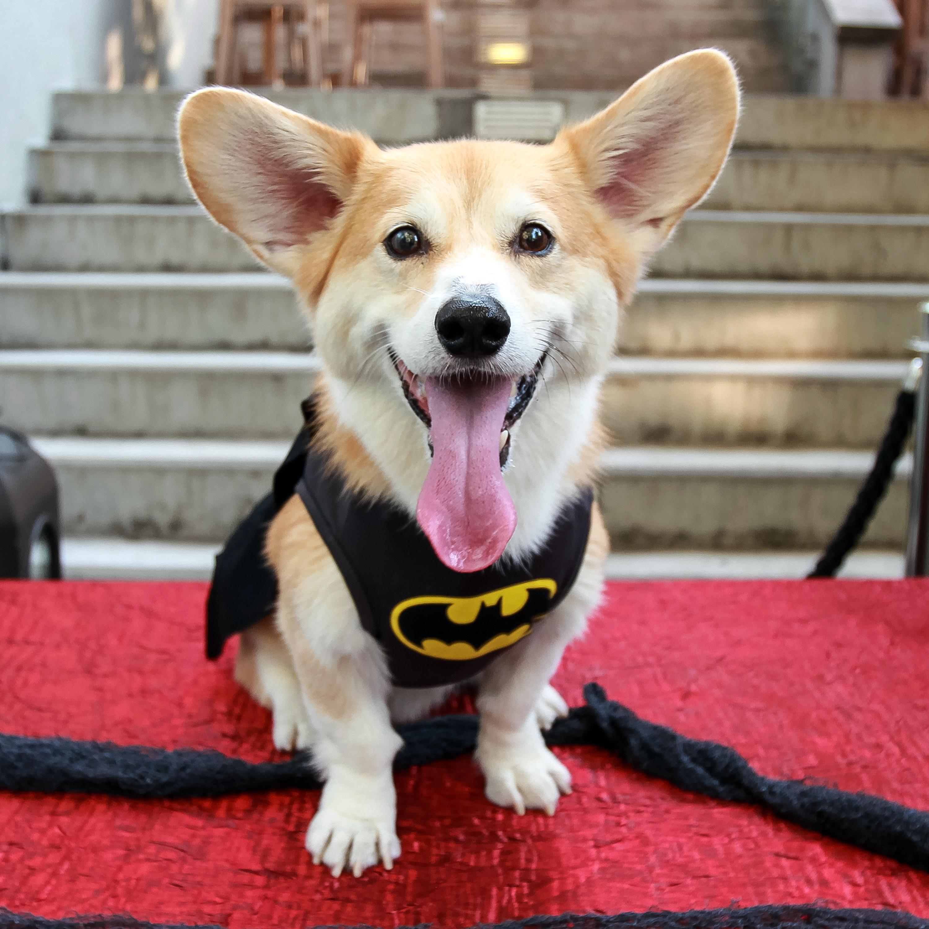 This photo provided by Marc Dalangin shows his Welsh corgi Wally dressed in a & Pet costume business booming | The Spokesman-Review